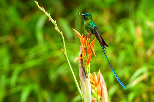 All this aerial mastery stuff is too easy, so I figured I'd add a huge tail. Long-tailed Sylph; photo by Francesco Veronesi*