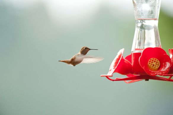 Rufous Hummingbirds are small. Photo by M. LaBarbera