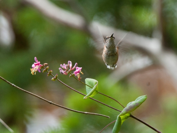 Rufous Hummingbird. Photo by M. LaBarbera