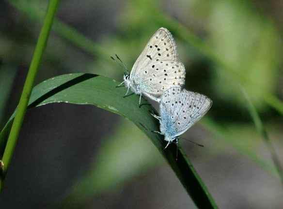 Butterflies making more butterflies...
