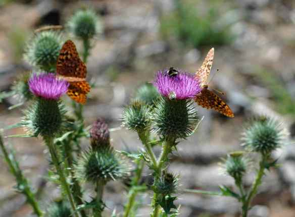 The butterflies and the bees both liked these thistles.