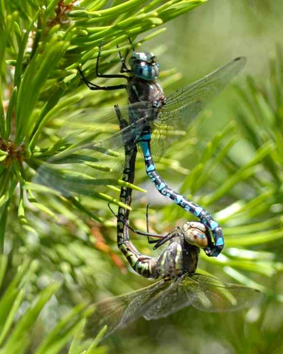 A mating pair of variable darners. The blue one is male, the green one female.