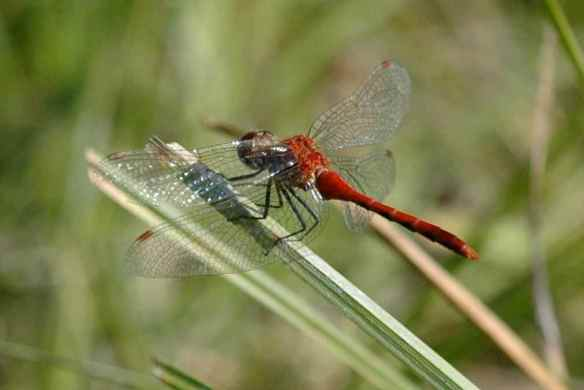 Male white-faced meadowhawk