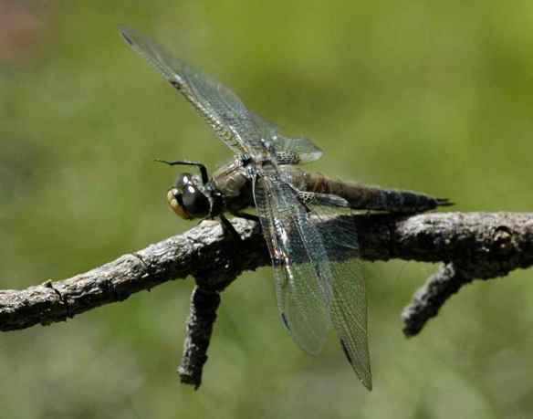 2014bugs_dragonflyb2