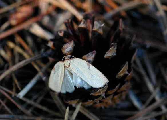 2014bugs_moth_pinecone