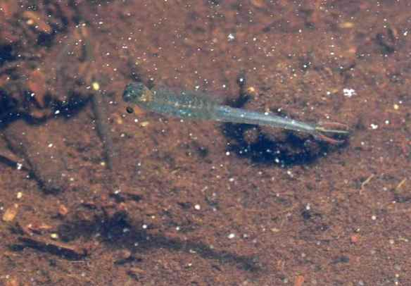 I assume this is the larva of something, but I have no idea what. It was very graceful in the water.