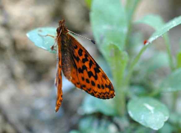 2014bugs_orangebutterfly2