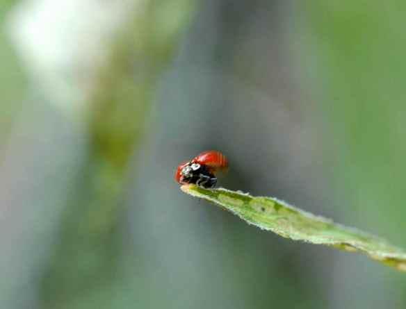 Ladybug, ladybug, fly away home.