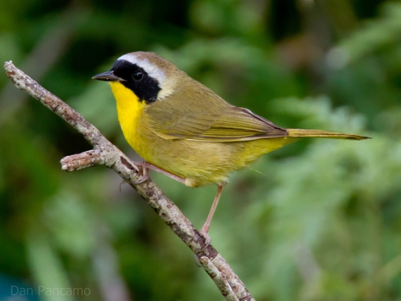 Common Yellowthroat (male). Photo by Dan Pancamo*