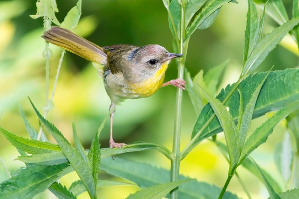 Go ahead, impress me. (Female Common Yellowthroat. Photo by Kelly Colgan Azar*)