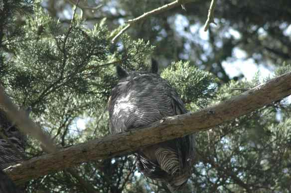 Great-Horned-but-no-head-Owl.