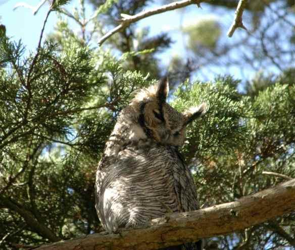 Elegant owl.