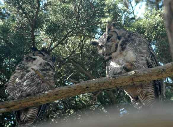 Just-woke-up owl.