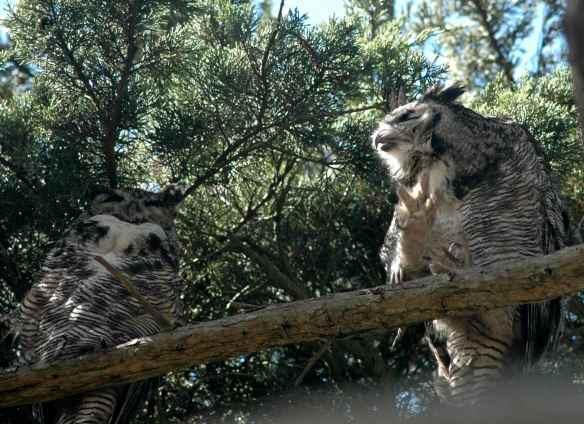 owlpellets_owls_scratching