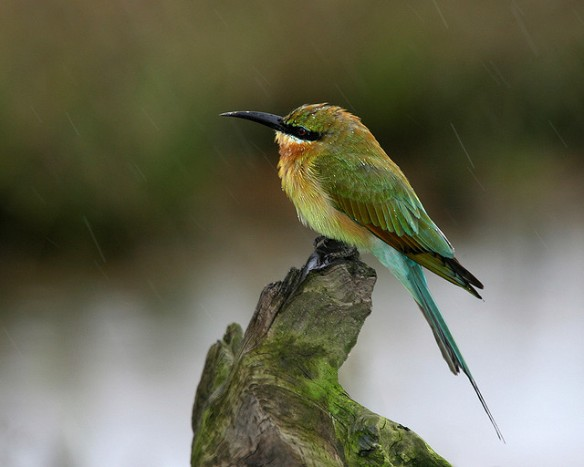 Blue-tailed Bee-eater. Photo by Lip Kee*
