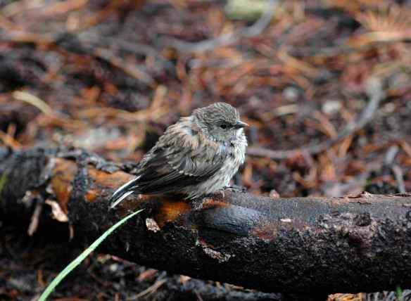 Junco fledgling in the rain, waiting to be fed. Notice the wet tail and primary feathers.