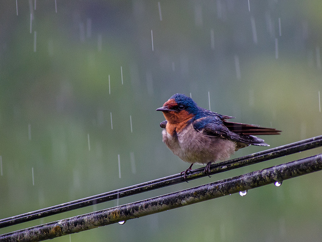 What do birds do when it rains? | Tough Little Birds