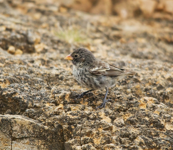 Dum-dum-DUMMMM. (Sharp-beaked Ground Finch. Photo by budgora*)