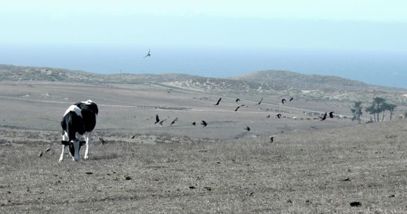 Starlings flying near a cow; Pt Reyes, CA.