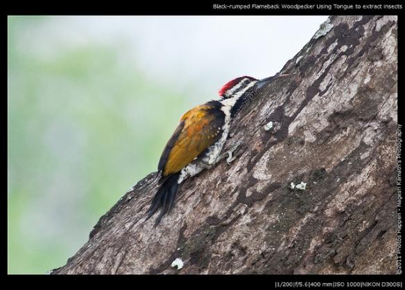 Black-rumped Flamebacked Woodpecker. Photo by Nagesh Kamath*