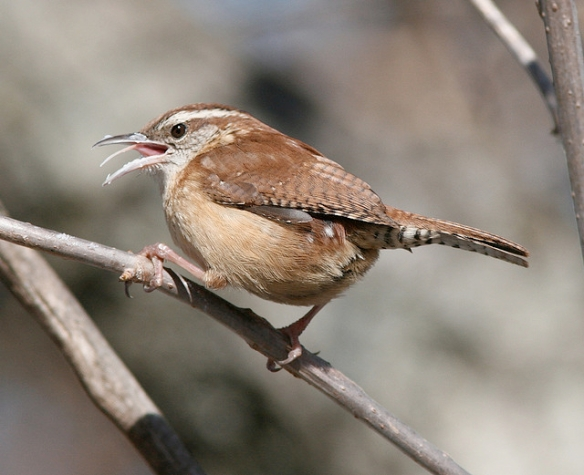 Carolina wren. Photo by Henry T. Mclin*