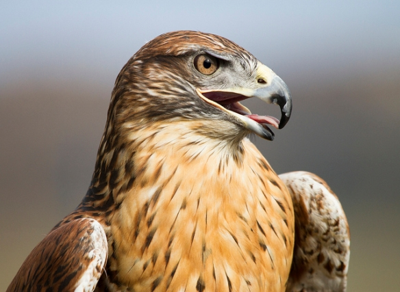 Ferruginous Hawk. Photo by Nathan Rupert*