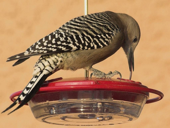 Or to eat from a hummingbird feeder. Gila Woodpecker; photo by Evan Bornholtz*