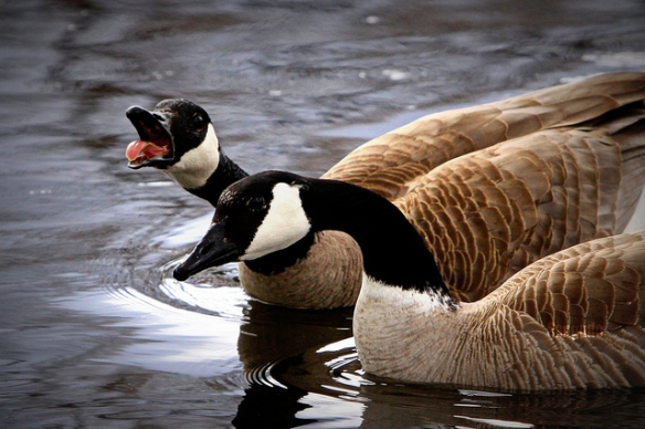 Canada Geese. Photo by Sangudo*