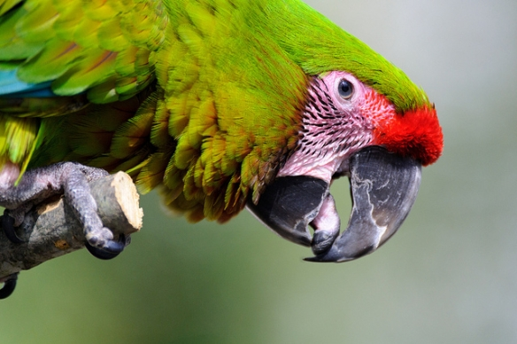 Green Macaw. Photo by Eric Kilby*