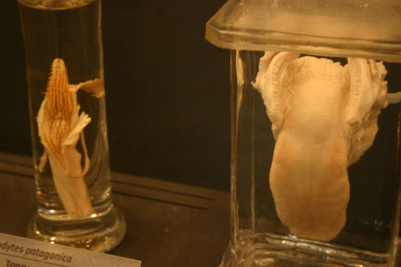 Preserved tongue of a King Penguin, left. (Right is the tongue of a lion.) Photo by Ryan Somma*