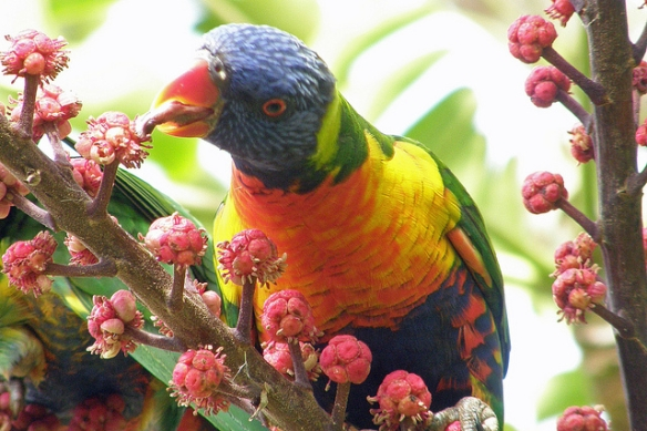 Rainbow Lorikeet. Photo by Alan (Kaptain Kobold)*