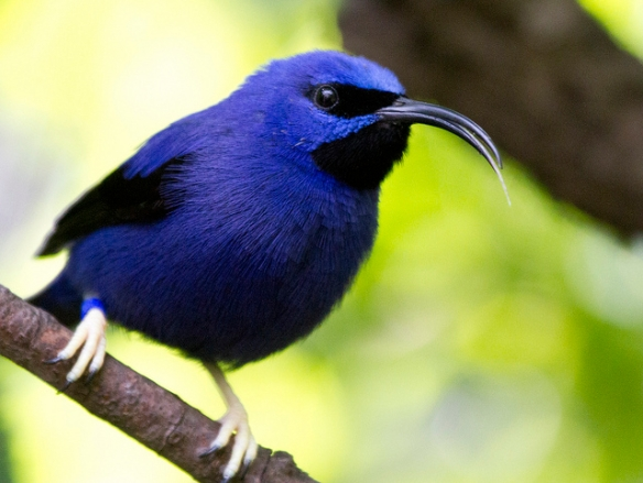 Purple Honeycreeper, another nectar-eating bird. Photo by Nathan Rupert*