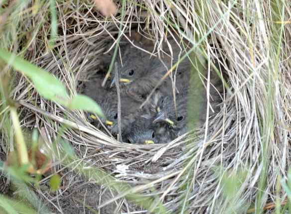 The junco chicks do not think it would be all that interesting, honestly.