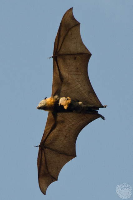 Where those babies should be: clinging to mom as she flies around. (Grey-headed flying fox mother and baby; photo by Paislie Hadley.*)