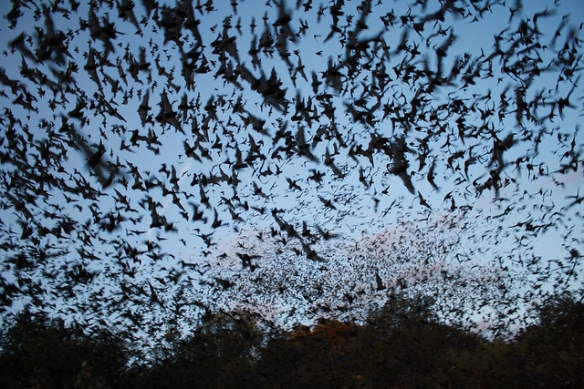 Mexican free-tailed bats. Photo by the U.S. Fish and Wildlife Service Headquarters*
