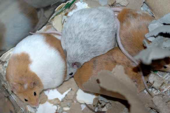 Round mice