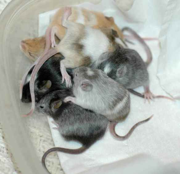 Pile of baby mice