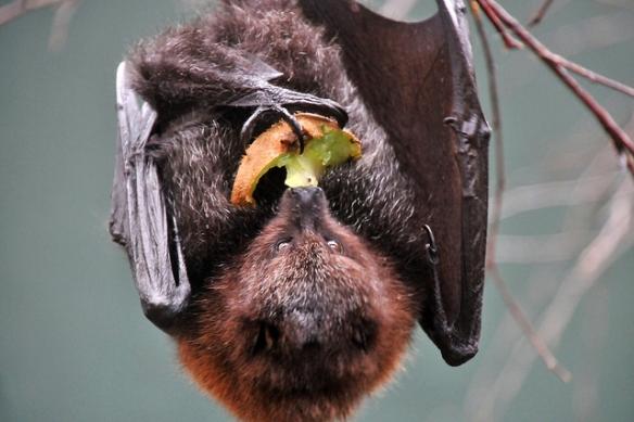 Rodrigues fruit bat. Photo by Joachim S. Müller*