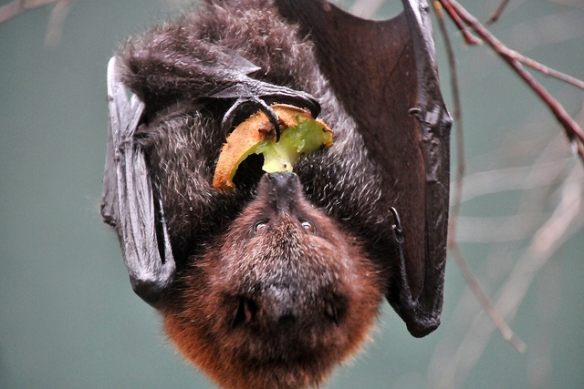 Rodrigues fruit bat. Photo by Joachim S. Müller*