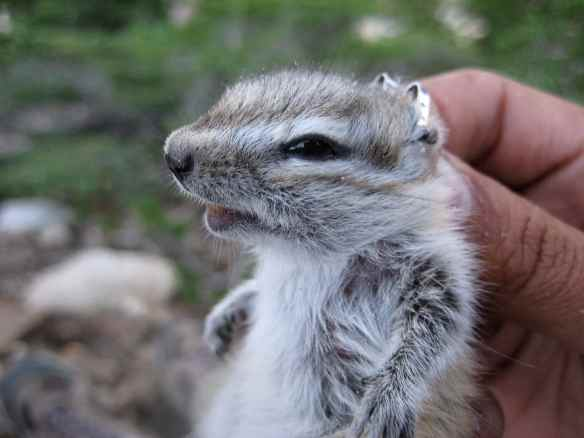Alpine chipmunk, none too pleased to be experiencing field biology. Photo by TH.