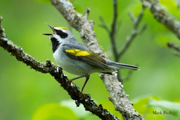 Male Golden-winged Warbler. Photo by Mark Peck*
