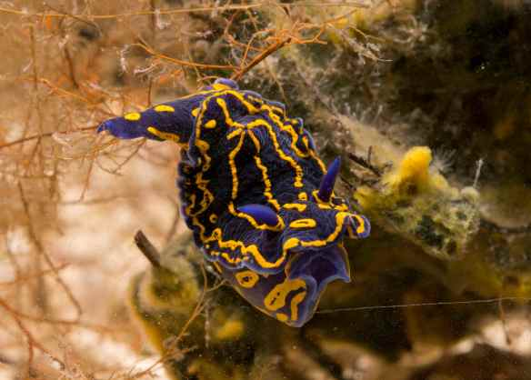 Do not eat me. Hypselodoris eaenticulata. Photo by M. LaBarbera