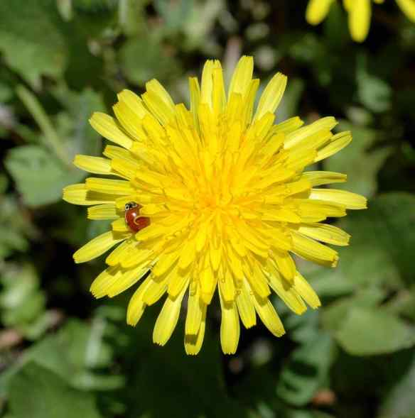 Dandelion (with tiny beetle)