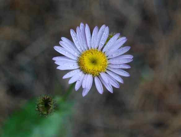 2014_flowers_daisy2