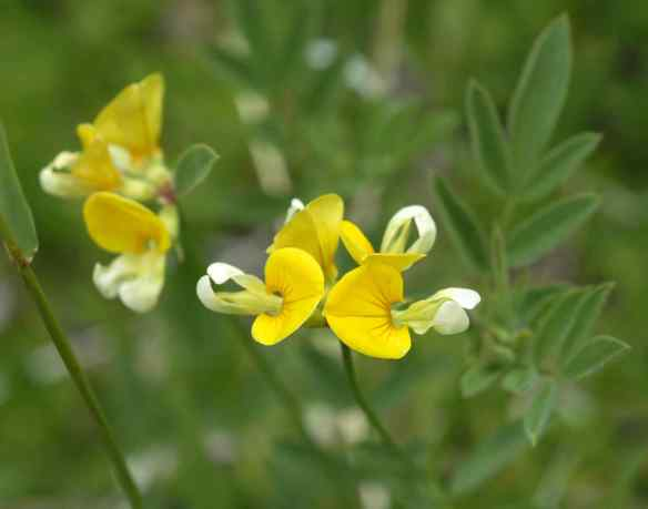 2014_flowers_yellowdangle