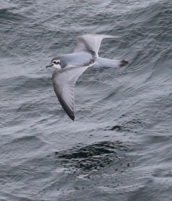 Antarctic Prion. Photo by Liam Quinn*