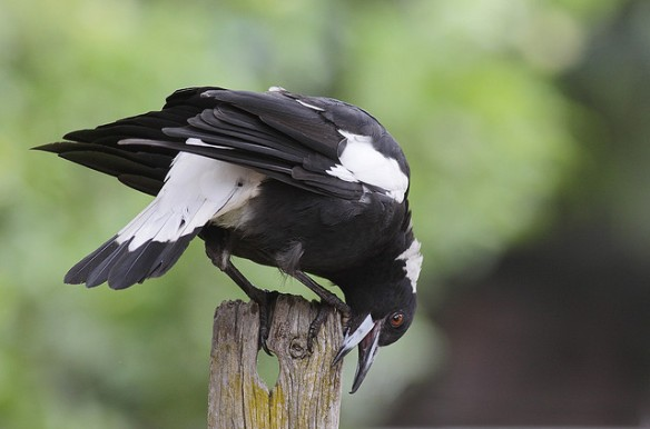 Australian Magpie bill-wiping. Photo by Leo*