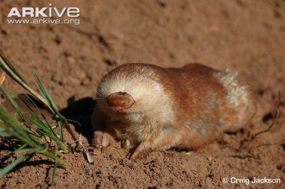 Juliana's golden mole. Photo from ARKive.