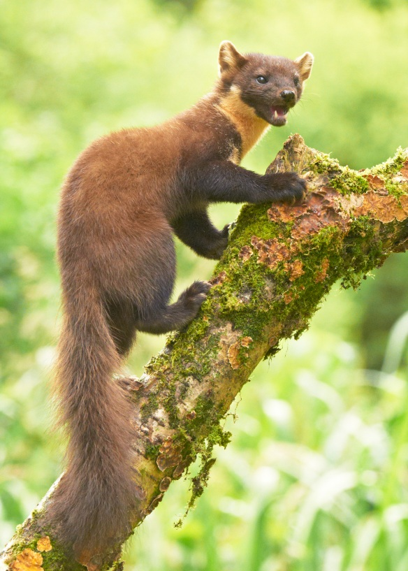 Oh come on, I smell great. You should definitely come inside if you smell me, delicious little birdie. Pine Marten; photo by Flickpicpete*