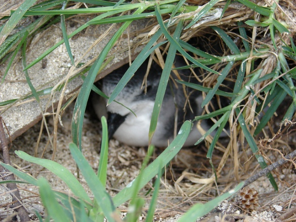 Bonin Petrel in burrow. Photo by Forest and Kim Starr*